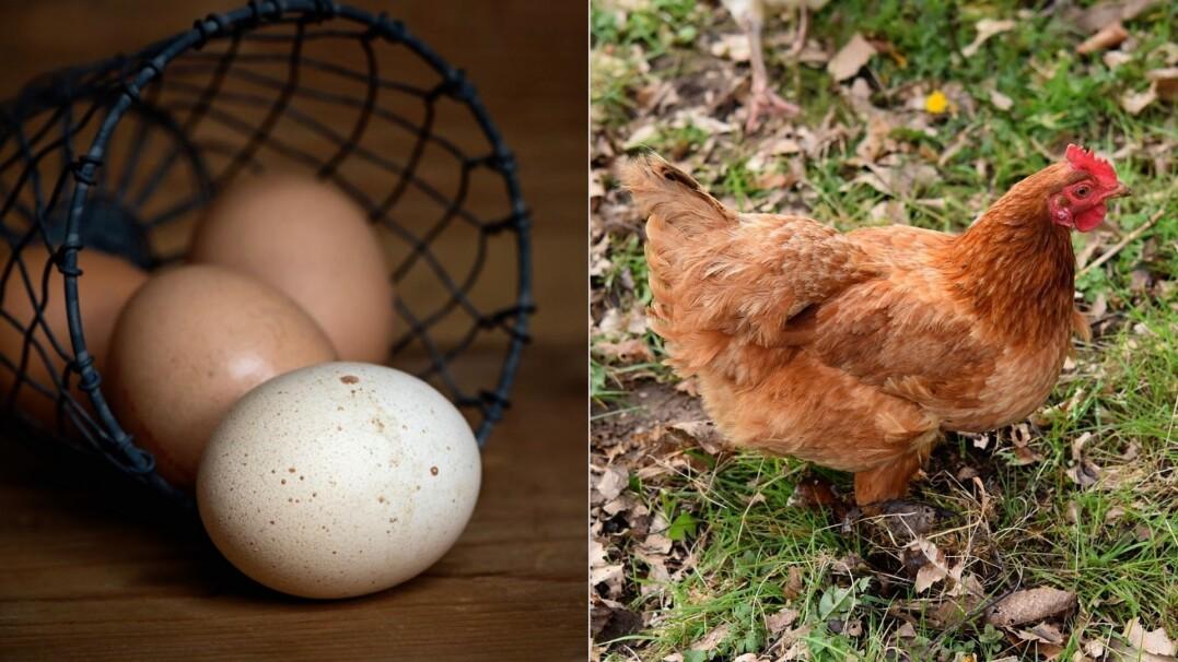Jajko czy kura? Naukowcy mają nowe badania