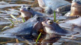 Te żaby właśnie stały się niebieskie