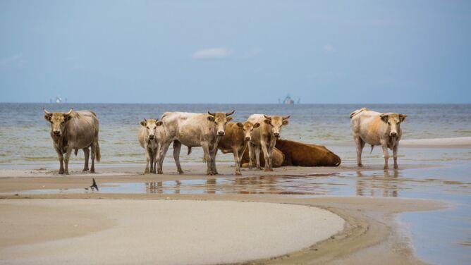 Huragan Dorian zmiótł krowy. <br />Myśleli, że wszystkie zginęły