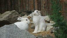 Zające bielaki we wrocławskim zoo (Zoo Wrocław)