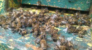 Jednej nocy zmarły wszystkie pszczoły (www.elka.pl, TVN24)