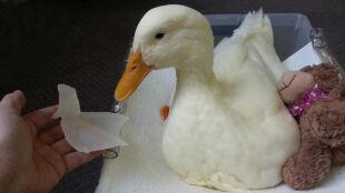 Niepełnosprawna kaczka dostanie stopę wydrukowaną w 3D
