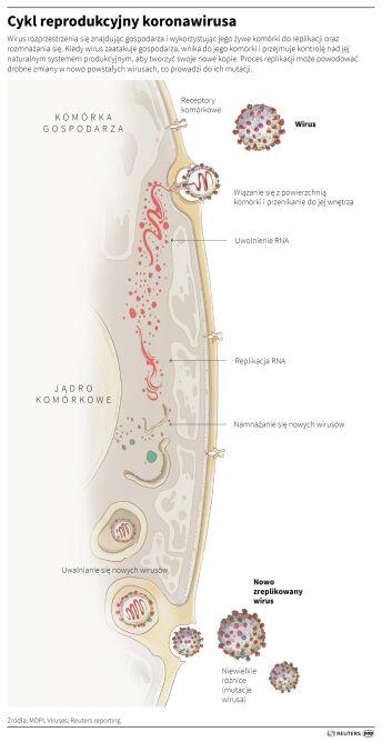 Cykl reprodukcyjny koronawirusa (Adam Ziemienowicz/PAP/Reuters)